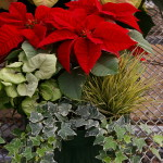 Bright Red Poinsettias 1
