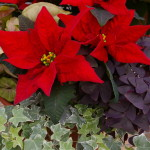 Bright Red Poinsettias 2