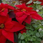 Bright Red Poinsettias 4
