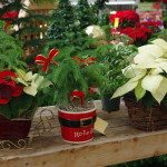 Potted poinsettias 1