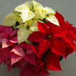 Tri-color potted poinsettias