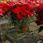 Potted poinsettias 2