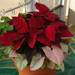 Potted poinsettias 3