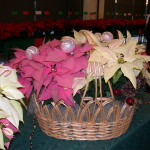 poinsettia display 2