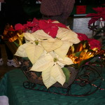 poinsettia display 4