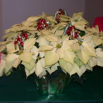 poinsettia display 5