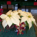 poinsettia display 6