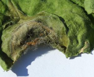 botrytis on cucumber leaf
